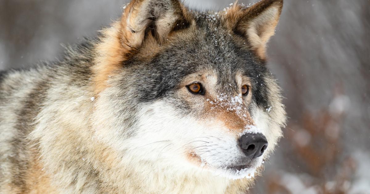 Mulig ulv set ved Lindved i weekenden - tre nye har siden meldt sig med sightings